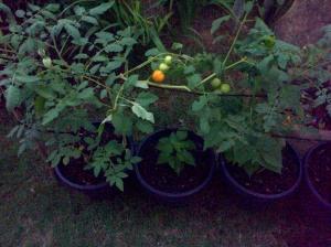 Tanam sayur dengan media sampah (1)