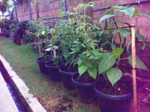 Tanam sayur dengan media sampah (4)
